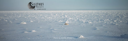 Polar Bear (Ursus Maritimus), A Male With Resting In Snow, Wapusk National Park, Manitoba Canada
