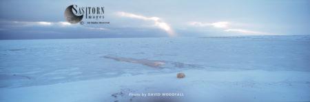 Male Polar Bear (Ursus Maritimus) Waiting By Melting Ice, Hudson Bay, Manitoba, Canada