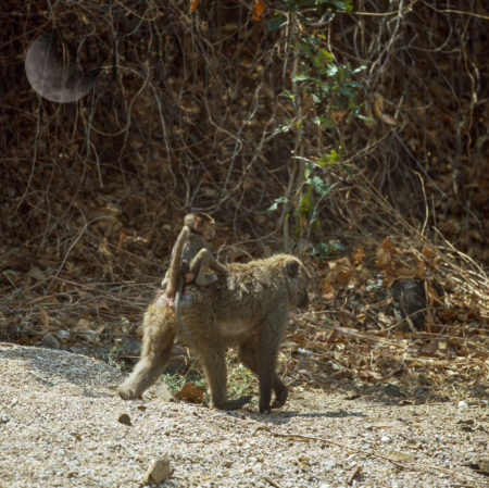 Yellow Baboon (Papio Cynocephalus), Mum With Baby On Back, Gombe National Park, Tanzania