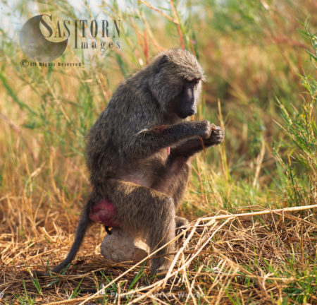Yellow Baboon (Papio Cynocephalus), Oestrus Female, Gombe National Park, Tanzania