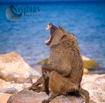 Yellow Baboon (Papio Cynocephalus), Adult Males Yawning, Gombe National Park, Tanzania