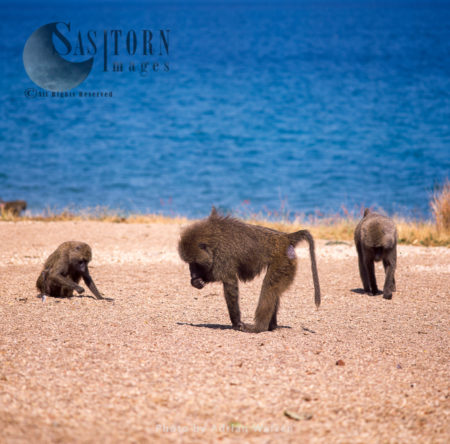 Yellow Baboons (Papio Cynocephalus), Group Foraging On Shore Of Lake Tanganyika, Gombe National Park, Tanzania