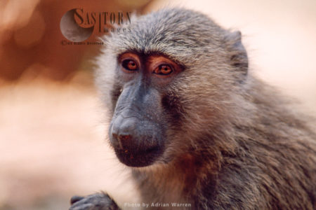 Yellow Baboon (Papio Cynocephalus), Gombe National Park, Tanzania