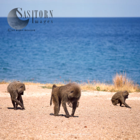 Yellow Baboons (Papio Cynocephalus), Group Foraging On Shore Of Lake Tanganyika, Gombe National Park, Tanzania