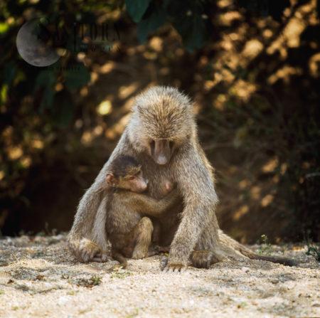 Yellow Baboon (Papio Cynocephalus), Female Mum And Baby, Gombe National Park, Tanzania