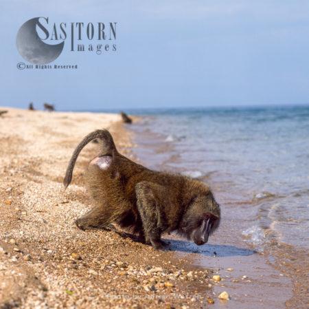 Yellow Baboon (Papio Cynocephalus), Adult Male Drinking Water From Lake Tanganyika, Tanzania