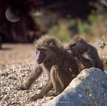 Yellow Baboon (Papio Cynocephalus), Gombe National Park, Tanzania
