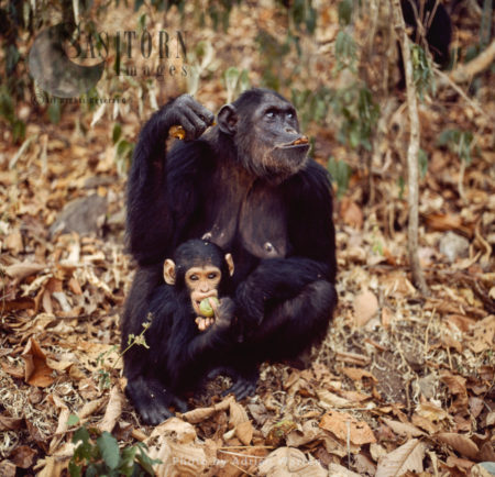 Chimpanzee (Pan Troglodytes), Mum And Baby Feeding On Fruit, Gombe National Park, Tanzania