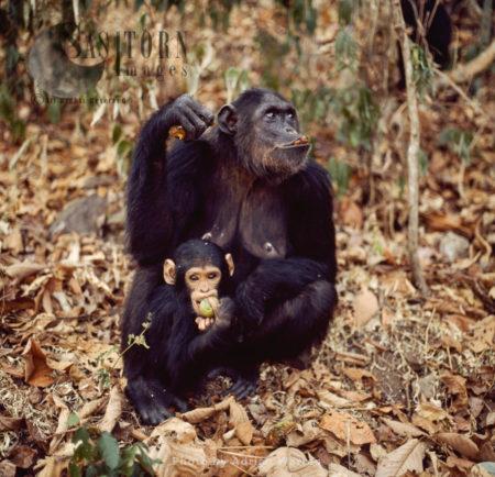 Chimpanzee (Pan Troglodytes), Mum And Baby Feeding On Fruit, Gombe National Park, Tanzania