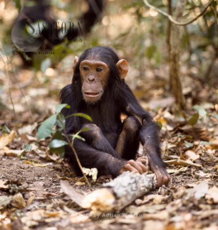 Chimpanzee (Pan Troglodytes), A Young Male Chimp, Gombe National Park, Tanzania