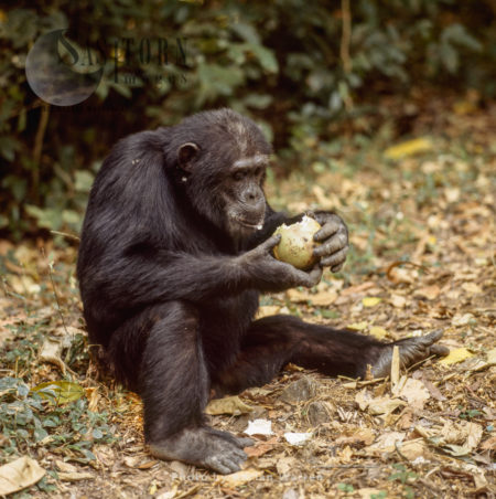 Chimpanzee (Pan Troglodytes), Goblin Eating Fruit With Hard Skin, Gombe National Park, Tanzania