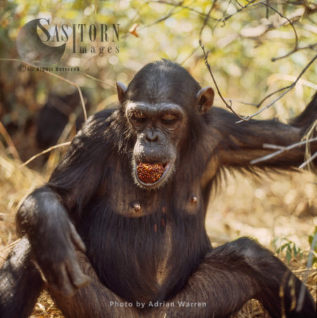 Chimpanzee (Pan Troglodytes), Female Fanny Feeding On Fruit, Gombe National Park, Tanzania