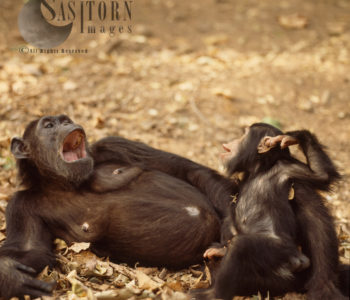Chimpanzee (Pan Troglodytes), Fifi And One Year Old Ferdinand, Gombe National Park, Tanzania