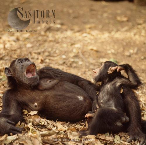 Chimpanzee (Pan Troglodytes), Fifi And One Year Old Ferdinand, Gombe National Park, Tanzania