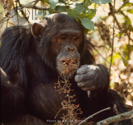 Chimpanzee (Pan Troglodytes), Freud, Eating Fruit, Gombe National Park, Tanzania