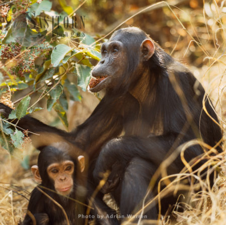 Chimpanzee (Pan Troglodytes), Female And Infant Fanny And Fax, Gombe National Park, Tanzania