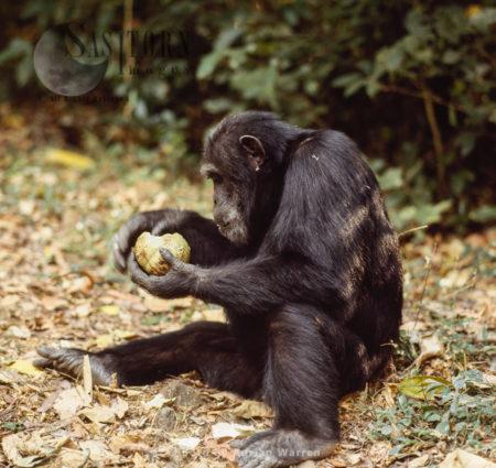 Chimpanzee (Pan Troglodytes), Goblin Eating Fruit With Hard Skin, Gombe National Park, Tanzania