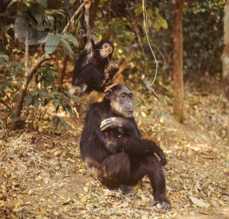 Chimpanzee (Pan Troglodytes), Mum And Baby Chimps, Gombe National Park, Tanzania