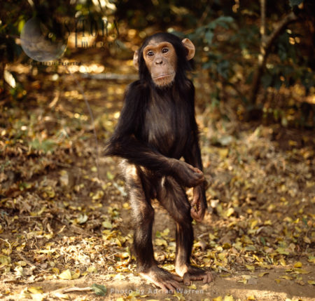 Chimpanzee (Pan Troglodytes), 4 Years Old Infant Male Faustino Standing Upright, Gombe National Park, Tanzania