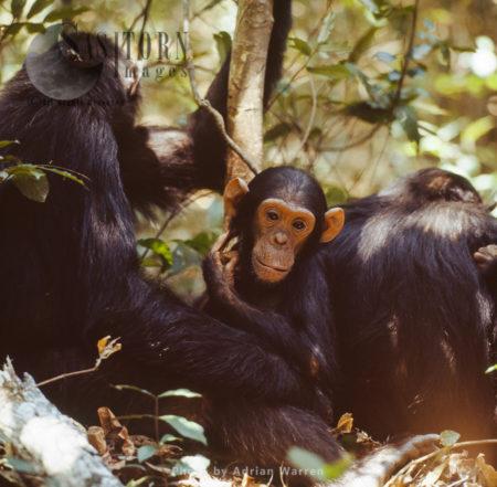 Chimpanzee (Pan Troglodytes), Male Infant Faustino And Family, Gombe National Park, Tanzania
