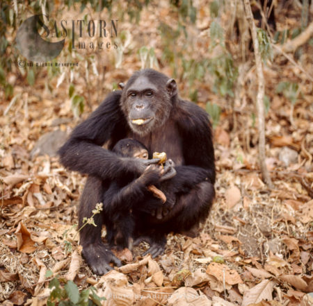 Chimpanzee (Pan Troglodytes), 36 Years Old Mum, Fifi, With One Year Old Ferdinand, Gombe Stream National Park, Tanzania, Africa