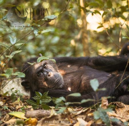 Chimpanzee (Pan Troglodytes), Fifi Resting, Gombe National Park, Tanzania