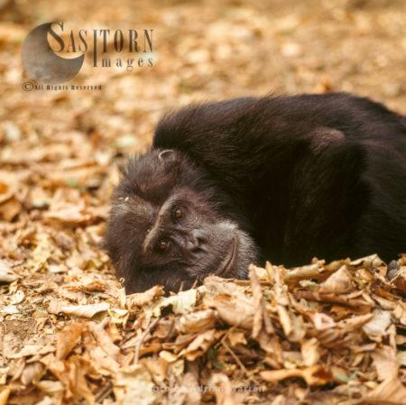 Chimpanzee (Pan Troglodytes), Male Goblin Resting, Gombe National Park, Tanzania