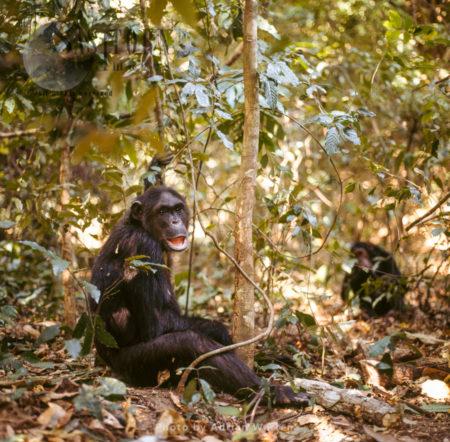 Chimpanzee (Pan Troglodytes), Female Fifi Resting, Gombe National Park, Tanzania