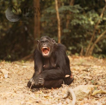 Chimpanzee (Pan Troglodytes), Female Fifi Yawning, Gombe National Park, Tanzania