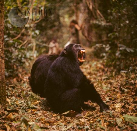 Chimpanzee (Pan Troglodytes), Male Chimanzee Yawning, Gombe National Park, Tanzania