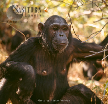 Chimpanzee (Pan Troglodytes), 14 Years Old Female, Fanny, Gombe Stream National Park, Tanzania