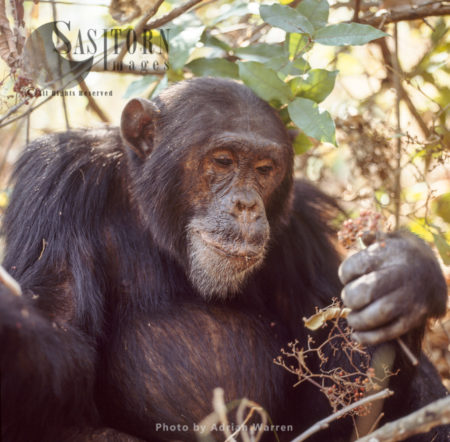 Chimpanzee (Pan Troglodytes), 23 Years Old Alpha Male, Freud, Eating Harungana Madagascar Berries, Gombe National Park, Tanzania