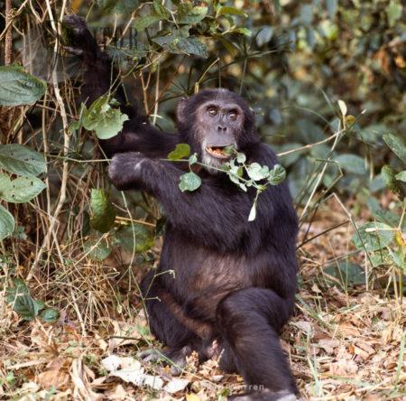 Chimpanzee (Pan Troglodytes), E-alpha Male Goblin Feeding, Gombe National Park, Tanzania