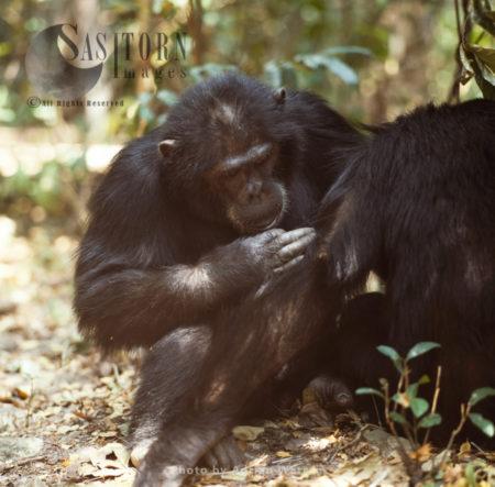 Chimpanzee (Pan Troglodytes), Grooming, Gombe National Park, Tanzania