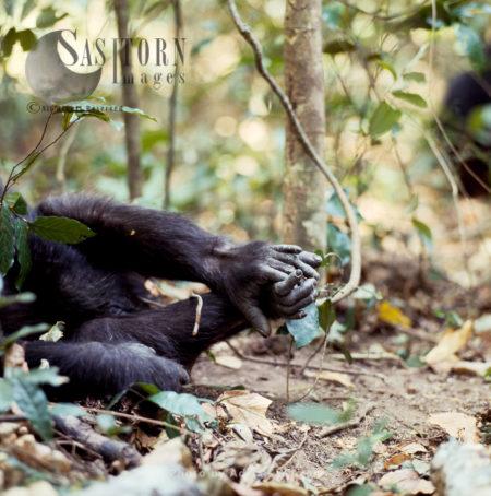 Chimpanzee (Pan Troglodytes), The Feet Of Female Fifi, Gombe National Park, Tanzania