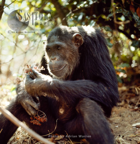 Chimpanzee (Pan Troglodytes), Fifi Feeding On Berries, Gombe National Park, Tanzania