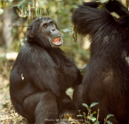Chimpanzee (Pan Troglodytes), 29 Years Old Male - Goblin, Gombe National Park, Tanzania