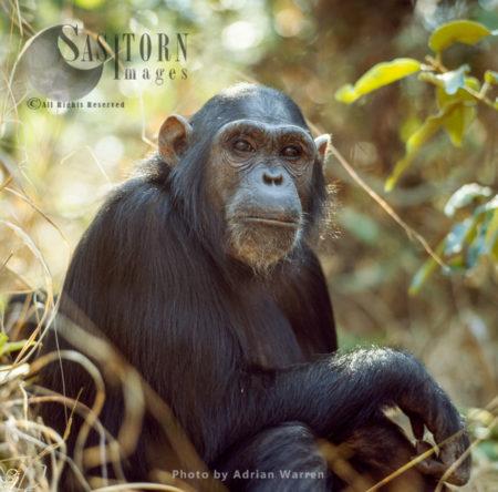 Chimpanzee (Pan Troglodytes), Female – Fanny, Gombe National Park, Tanzania