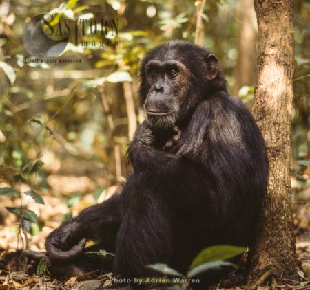Chimpanzee (Pan Troglodytes), Adult Male Goblin Resting, Gombe National Park, Tanzania