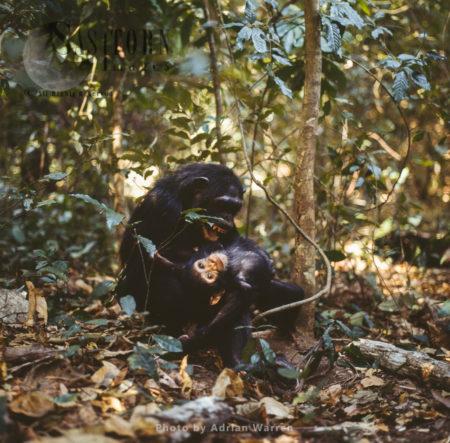 Chimpanzee (Pan Troglodytes), Mum And Baby Chimps Playing, Gombe National Park, Tanzania