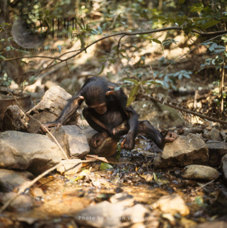 Chimpanzee (Pan Troglodytes), Young Chimpanzee Using A Leaf To Collect Water To Drink, Gombe National Park, Tanzania