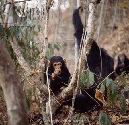 Chimpanzee (Pan Troglodytes), Infant Chimp Ferdinand, Gombe National Park, Tanzania