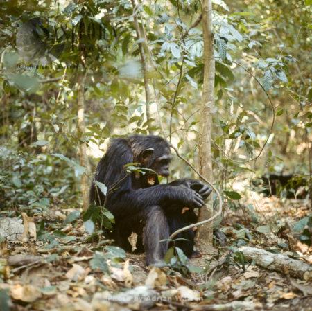Chimpanzee (Pan Troglodytes), Gombe National Park, Tanzania
