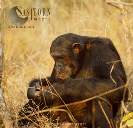 Chimpanzee (Pan Troglodytes), Freud Feeding On Fruit, Gombe National Park, Tanzania
