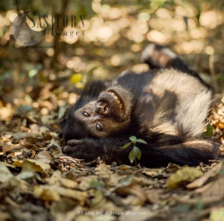 Chimpanzee (Pan Troglodytes), Young Female Chimp, Flossie, Gombe National Park, Tanzania