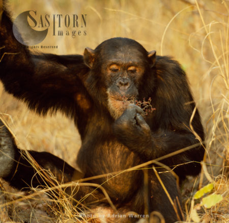 Chimpanzee (Pan Troglodytes), Freud Feeding On Fruit, Gombe National Park, Tanzania