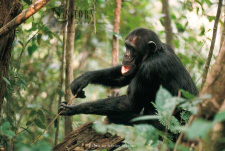 Chimpanzee (Pan Troglodytes),  Gombe, Tanzania