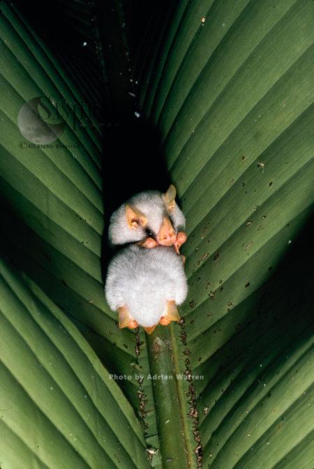The Honduran White Bat (Ectophylla Alba), Costa Rica, South America