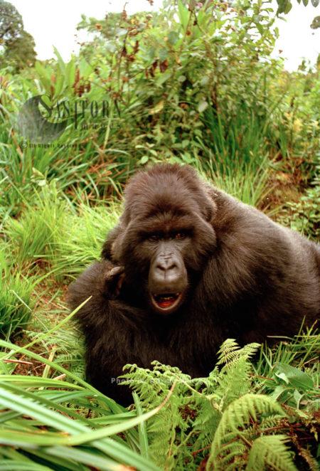 Mountain Gorilla (Gorilla G. Beringei), Virunga Volcanoes, Rwanda