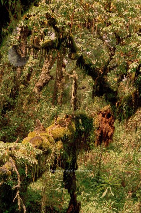 Habitat Of Mountain Gorilla (Gorilla G. Beringei), Virunga Volcanoes, Rwanda